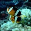 الامراض الفطريه التى تصيب الاسماك